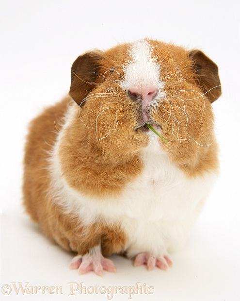 Red-and-white Rex Guinea pig, 6 weeks old, eating a blade of grass, white background