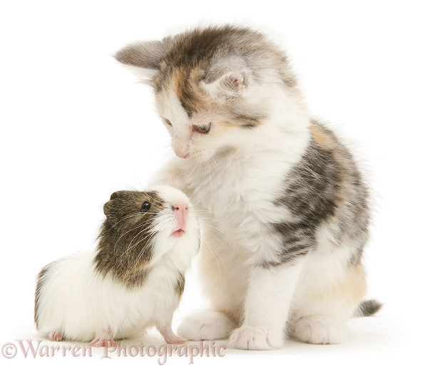 Young agouti-and-white Guinea pig with silver tortoiseshell-and-white Maine Coon kitten, 8 weeks old, white background