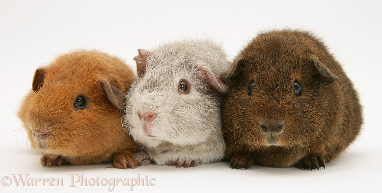 Young red, silver and chocolate agouti Rex Guinea pigs, 6 weeks old, white background