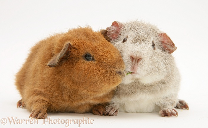 Young red and silver Rex Guinea pigs, 6 weeks old, eating the same grass stalk, white background