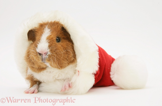 Young red-and-white Rex Guinea pig, 6 weeks old, in a Santa hat, white background