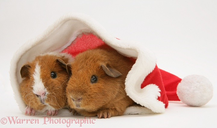 Young red Rex Guinea pigs, 6 weeks old, in a Santa hat, white background