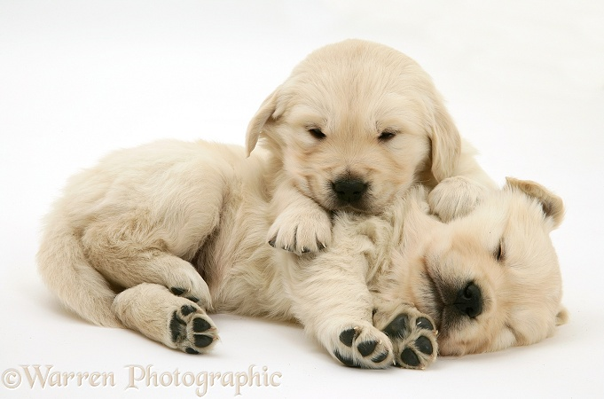 Two sleepy Golden Retriever pups, white background