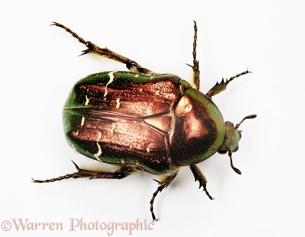 Rose Chafer (Cetonia aurata), white background