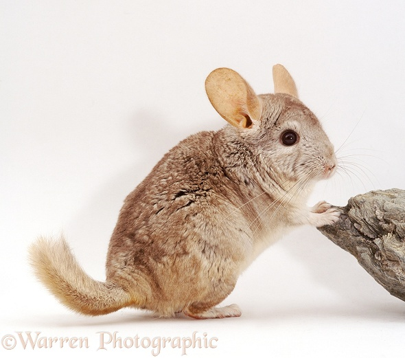 Fawn male Chinchilla, white background