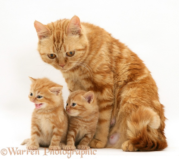 Red tabby British Shorthair mother cat, Megan, with two kittens, white background