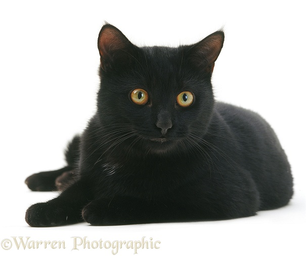 Black male cat, Austin, lying with head up, white background