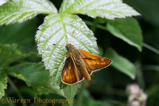 Large Skipper Butterfly (Ochlodes venata) male sunning on a bramble leaf