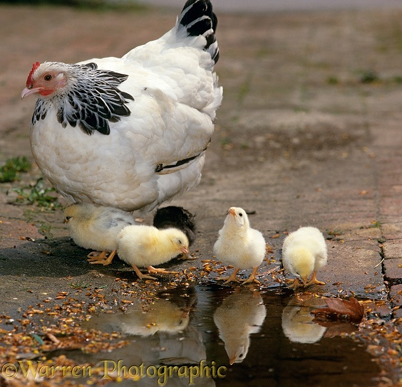 Light Sussex Bantam hen with chicks, 2 days old, drinking at puddle