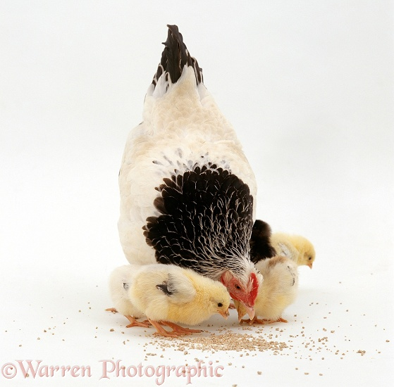 Light Sussex Bantam hen pointing to show her week-old chicks food (chick crumbs), white background