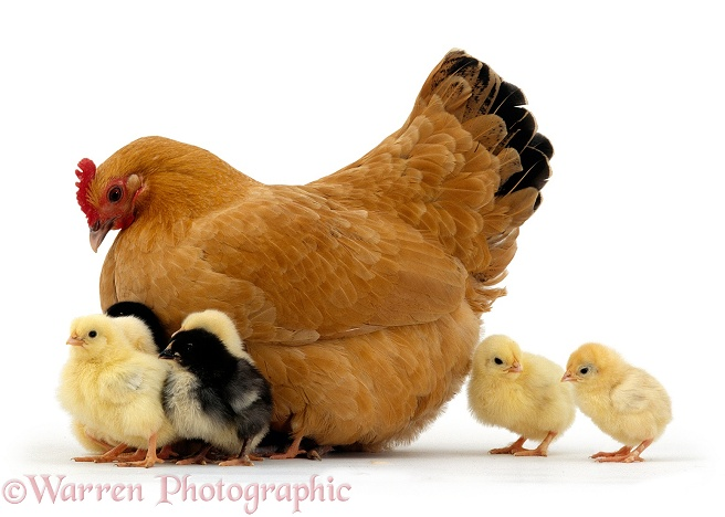 Buff bantam hen with chicks, 2 days old, white background