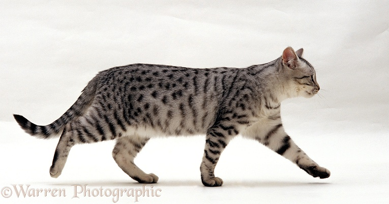 Silver spotted shorthair male cat, Arum, 5 months old, walking profile, white background