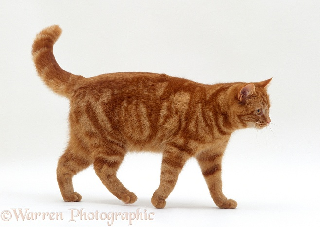 American Shorthair Cat In The Uk