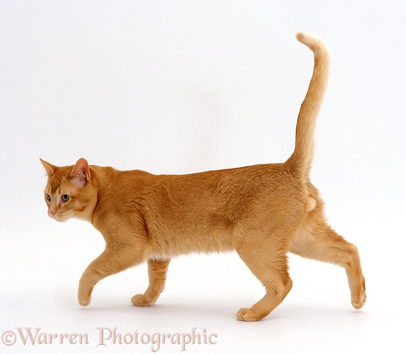 Red Burmese male cat Ozzie walking along, white background