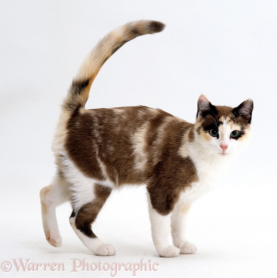 Chocolate-tortoiseshell-and-white cat, Cookie, 5 months old, with friendly tail-up greeting, white background