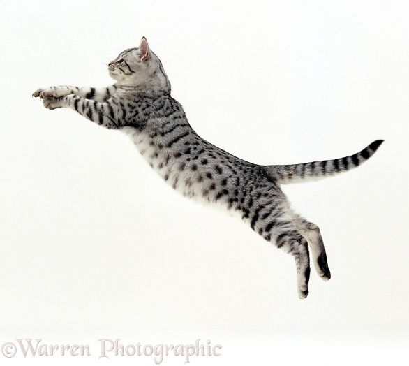Silver spotted shorthair male cat, Arum, 5 months old, jumping at full stretch, white background