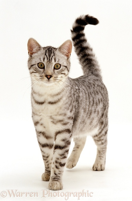 Silver spotted male cat, Arum, 5 months old, white background