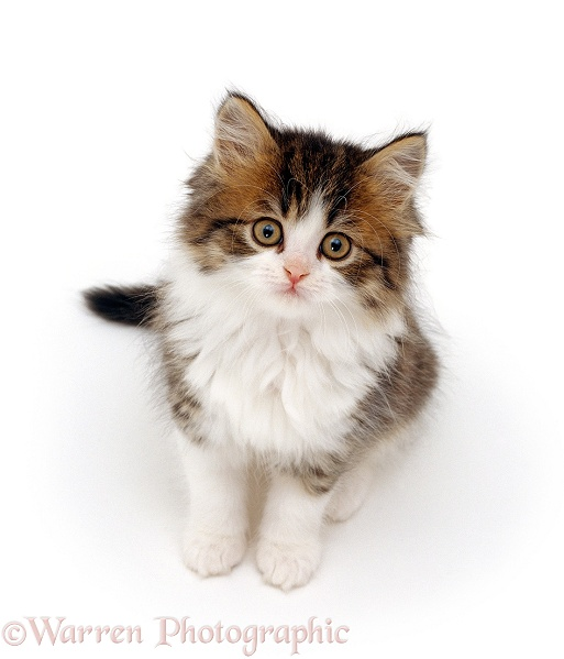 Tortoiseshell-and-white Persian-cross kitten, 7 weeks old, sitting and looking up, white background