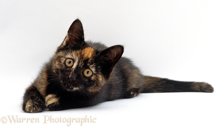 Black tortoiseshell kitten, 8 weeks old, ready to pounce, white background