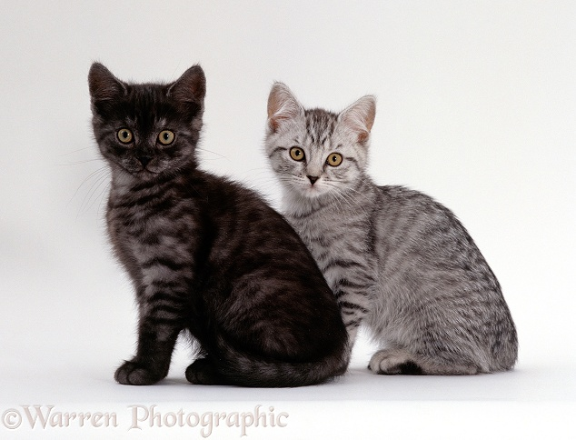 Two British shorthair smoke and silver spotted kittens, white background