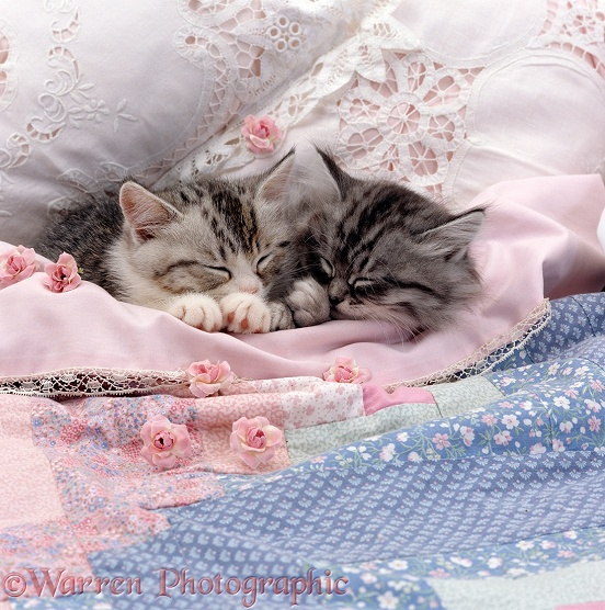 Two Chinchilla-cross Silver tabby kittens asleep in a bed with roses