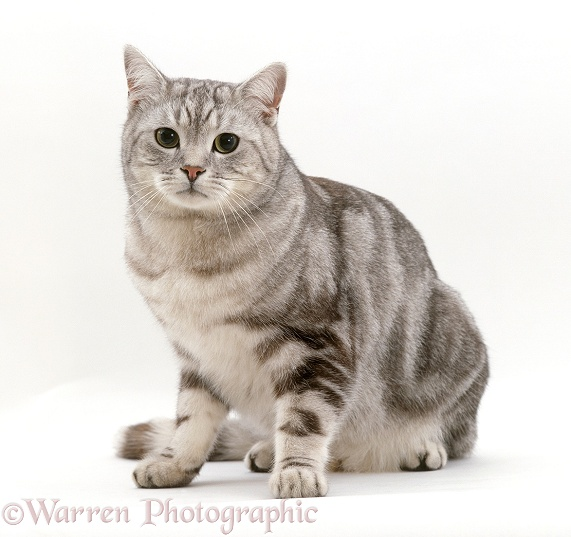 Silver tabby male cat, Butterfly, 4 years old. Sequence 5 of 5, white background