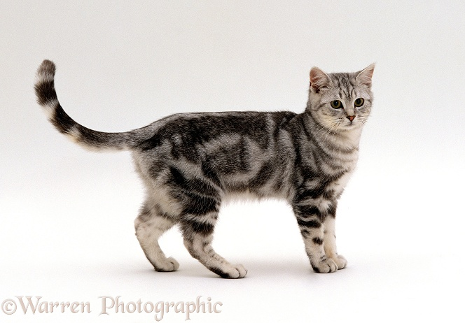 Silver tabby male cat, Butterfly, 6 months old. Sequence 3 of 5, white background
