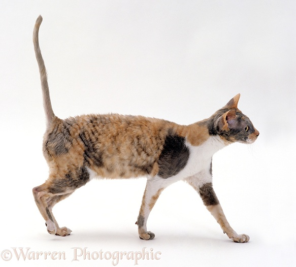 Cornish Rex cat, Faberge, with arched back, white background