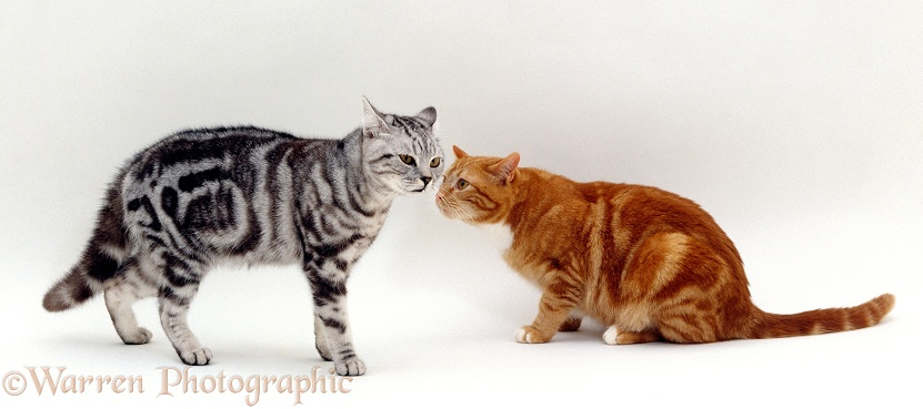 Aggressive silver tabby intact male cat meets non-aggressive ginger neutered male cat, white background