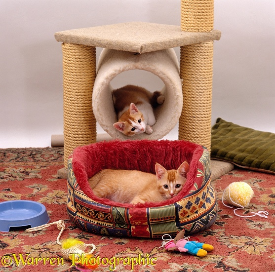 Two kittens, 12 weeks old, settled into a new home, with bed, play-centre and toys