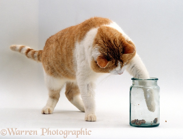 Ginger-and-white cat, Butch, trying to hook cat food out of a jar with his paw, white background