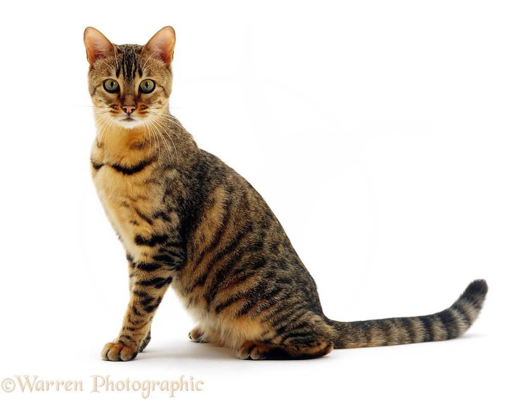 Domestic Cat (Felis catus) 5-month female Brown spotted Bengal Oosha, white background