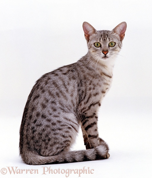 Female Silver Egyptian Mau cat, Holly, white background