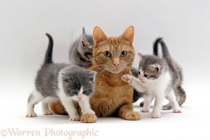 Ginger cat with grey foster kittens