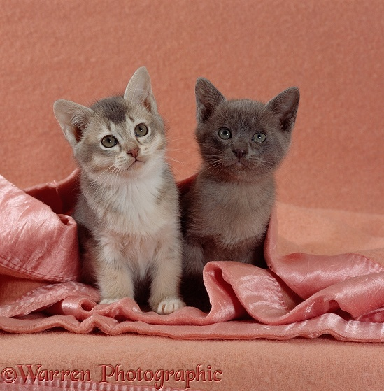 Blue ticked tabby and Burmese kittens under a blanket