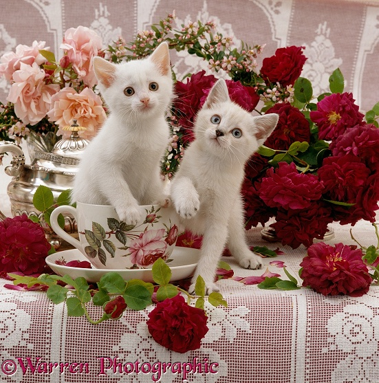 Auburn-and-white fluffy kitten in a large teacup, with his blue-eyed sister, after playing round a bowl of red roses