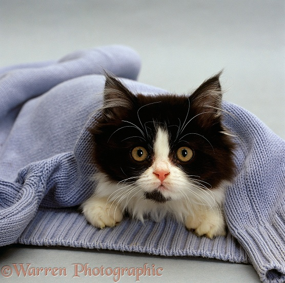 Black-and-white semi-longhaired kitten, Felicity (Cosmos x Millie) in a blue pullover