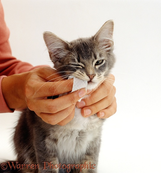 Grey Burmese-cross kitten with handler cleaning teeth using a finger pad, white background
