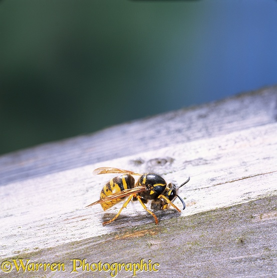 Saxony Wasp (Dolichovespula saxonica) worker collecting wood pulp for nest.  Europe