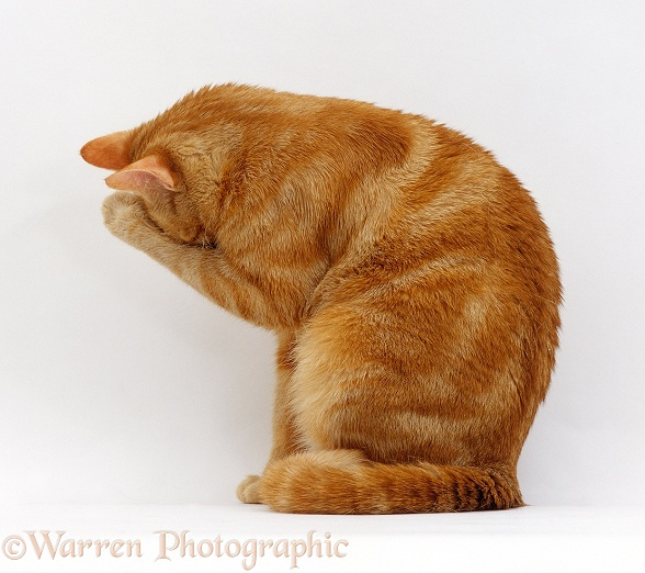Ginger female cat, Lucky, sitting washing her face with a damp paw, white background
