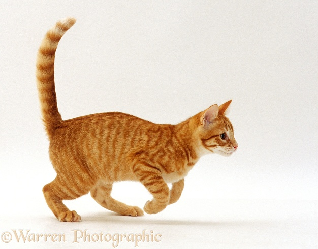 Red spotted ginger cat, Whiskie, running across, white background
