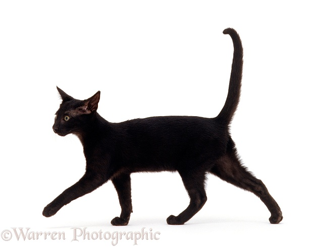 Oriental black female kitten, 14 weeks old, walking profile, white background