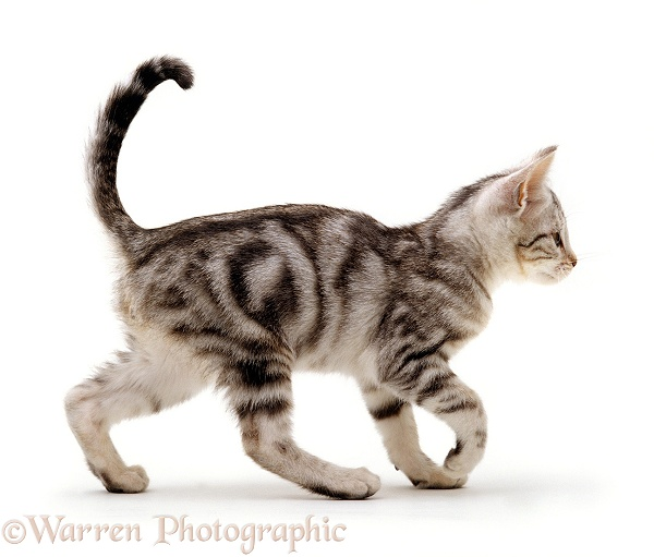Silver tabby male kitten, 14 weeks old. Growing up sequence 6/6, white background