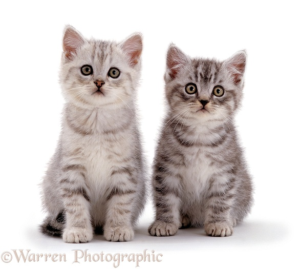 Two Silver tabby kittens (Cosmos x Thisbie), 7 weeks old, sitting together, white background
