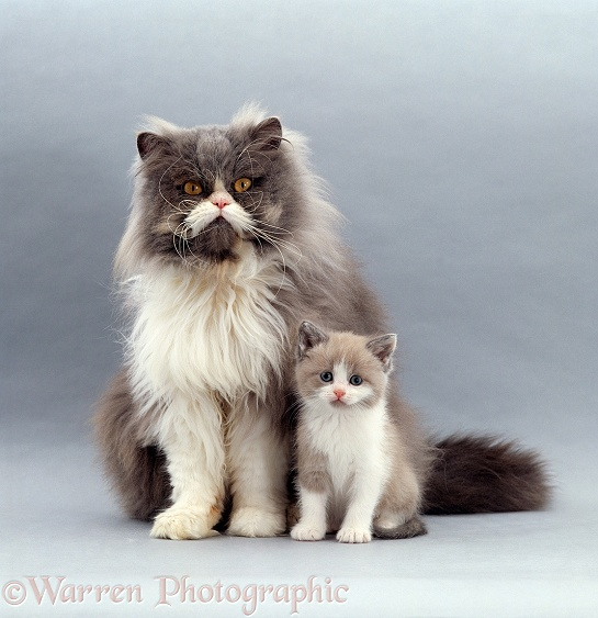 Blue bicolour Persian male cat, Cobweb, with his 6-week-old Lilac bicolour kitten, Gossamer II