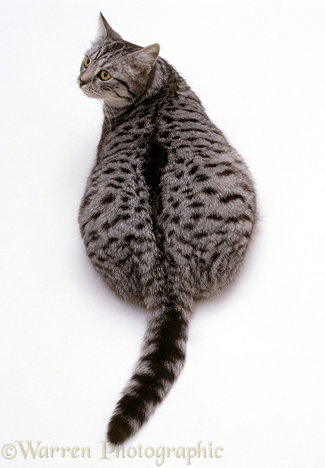 Silver spotted female cat, Aster, overweight viewed from above, white background