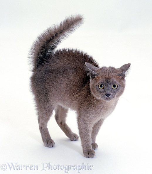 Frightened blue Burmese kitten, in witch's cat display, with fur raised along back and tail fluffed up, white background