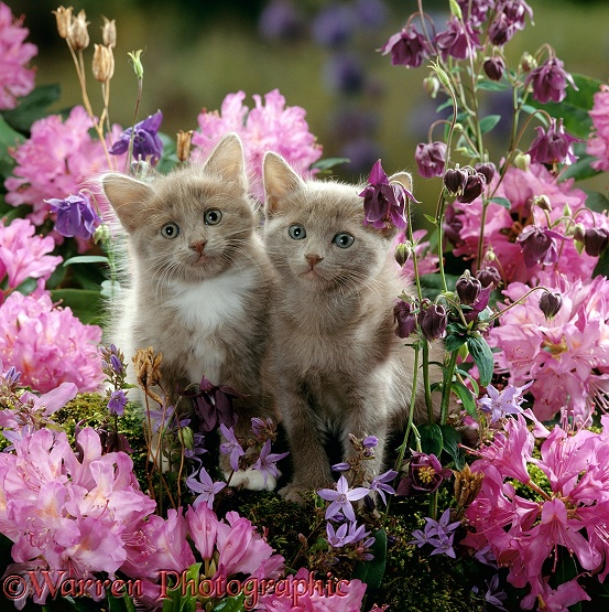 Blue-and-white female and Blue male kittens, 6 weeks old, among Purple columbines and flowering Rhododendrons