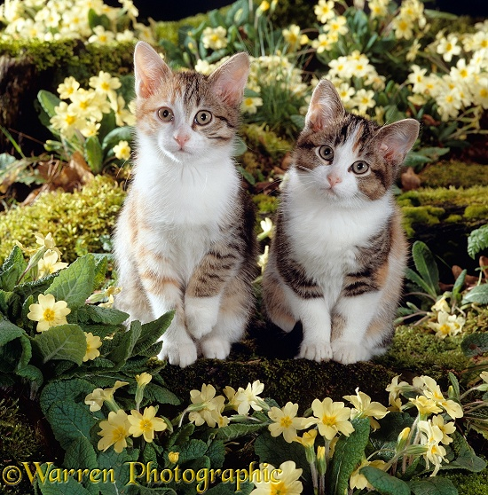 Tabby-tortoiseshell-and-white female kittens, 11 weeks old, among yellow primroses