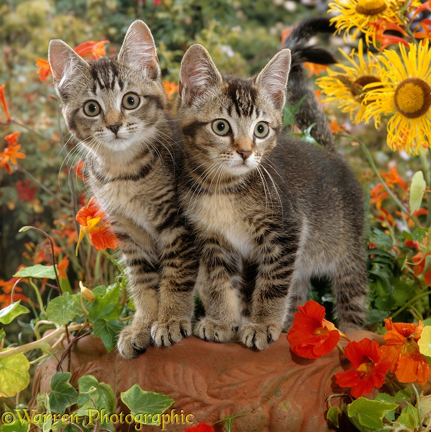 Short-haired ticked tabby kittens, 10 weeks old, on a clay urn with Nasturtiums, Montbretia and yellow daisies